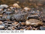 Common gray toad camouflaged among the pebbles on the rocky river shore. Стоковое фото, фотограф Евгений Харитонов / Фотобанк Лори