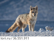 Culpea or Andean fox (Pseudalopex culpaeus) standing alert, vicinity of Laguna Verde, Reserva Eduardo Avaroa, altiplano, Bolivia. Стоковое фото, фотограф Bernard Castelein / Nature Picture Library / Фотобанк Лори