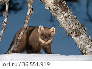 RF - Pine marten (Martes martes). Vauldalen, Norway. (This image may be licensed either as rights managed or royalty free.) Стоковое фото, фотограф Erlend Haarberg / Nature Picture Library / Фотобанк Лори