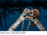 Pine marten (Martes martes) at night, Vauldalen, Norway May. Стоковое фото, фотограф Erlend Haarberg / Nature Picture Library / Фотобанк Лори