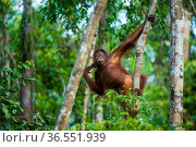 Young Bornean orangutan (Pongo pygmaeus) hanging from a tree, Tanjung Puting National Park, Borneo-Kalimantan, Indonesia. Стоковое фото, фотограф Inaki  Relanzon / Nature Picture Library / Фотобанк Лори
