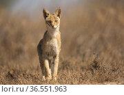 Jungle cat (Felis chaus), female in search of prey. Velavadar National Park, Gujarat, India. Стоковое фото, фотограф Yashpal Rathore / Nature Picture Library / Фотобанк Лори