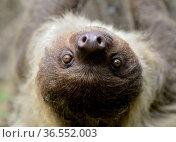 Unau / two-toed sloth (Choloepus didactylus) portrait, French Guiana. Стоковое фото, фотограф Daniel HEUCLIN,Daniel HEUCLIN / Nature Picture Library / Фотобанк Лори