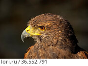 Wüstenbussard, Harris Hawk, Parabuteo unicinctus / Bay-winged Hawk... Стоковое фото, фотограф Zoonar.com/Georg / age Fotostock / Фотобанк Лори