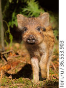 Wild boar (Sus scrofa) piglets in forest, UK. Стоковое фото, фотограф Andy Rouse / Nature Picture Library / Фотобанк Лори