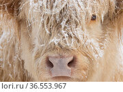 Highland cow, close up of head, Glenfeshie, Cairngorms National Park, Scotland, UK, January. Стоковое фото, фотограф SCOTLAND: The Big Picture / Nature Picture Library / Фотобанк Лори