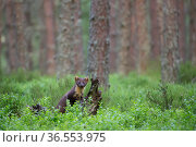 Pine marten (Martes martes) standing against log in pine forest, Glenfeshie, Cairngorms National Park, Scotland, UK, July. Стоковое фото, фотограф SCOTLAND: The Big Picture / Nature Picture Library / Фотобанк Лори