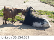 Ziege, Capra, Bock, geiss. Стоковое фото, фотограф Zoonar.com/Manfred Ruckszio / age Fotostock / Фотобанк Лори