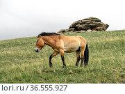 Przewalski-Pferde Hengst (Equus ferus przewalskii), Nationalpark ... Стоковое фото, фотограф Zoonar.com/Georg / age Fotostock / Фотобанк Лори