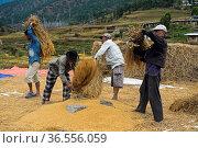 Traditionelles Reisernte, Männer dreschen Reis durch Schlagen gegen... Стоковое фото, фотограф Zoonar.com/Georg / age Fotostock / Фотобанк Лори