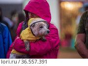 A West Highland terrier dog, a westie, wears a yellow slicker raincoat... Редакционное фото, фотограф Lori Epstein / age Fotostock / Фотобанк Лори