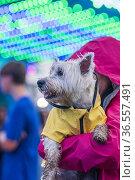 A West Highland terrier dog, a westie, wears a yellow slicker raincoat... Стоковое фото, фотограф Lori Epstein / age Fotostock / Фотобанк Лори