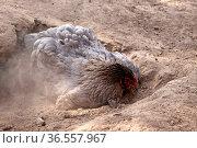 Brahma-Huhn bei einem Sandbad. Стоковое фото, фотограф Zoonar.com/Martina Berg / easy Fotostock / Фотобанк Лори
