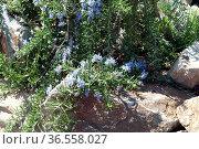 Haengender, Rosmarin, Ist eine Kraeuterpflanze, Kuechenkraeuterpflanze... Стоковое фото, фотограф Zoonar.com/Manfred Ruckszio / easy Fotostock / Фотобанк Лори