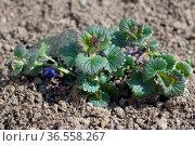 Gundelrebe, Ist eine Heilpflanze und Arzneipflanze, Wildpflanze. Стоковое фото, фотограф Zoonar.com/Manfred Ruckszio / easy Fotostock / Фотобанк Лори