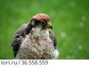 Falco biarmicus. Стоковое фото, фотограф Zoonar.com/Martina Berg / easy Fotostock / Фотобанк Лори