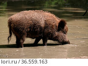 Wildschwein im Wasser. Стоковое фото, фотограф Zoonar.com/Martina Berg / easy Fotostock / Фотобанк Лори