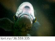 Fisch in einem Aquarium. Стоковое фото, фотограф Zoonar.com/Martina Berg / easy Fotostock / Фотобанк Лори