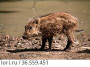 Junge Wildschweine. Стоковое фото, фотограф Zoonar.com/Martina Berg / easy Fotostock / Фотобанк Лори