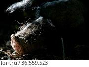 Dösendes Hausschwein. Стоковое фото, фотограф Zoonar.com/Martina Berg / easy Fotostock / Фотобанк Лори
