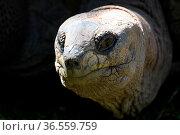 Spornschildkröte. Стоковое фото, фотограф Zoonar.com/Martina Berg / easy Fotostock / Фотобанк Лори