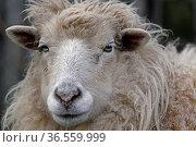 Schaf. Стоковое фото, фотограф Zoonar.com/Martina Berg / easy Fotostock / Фотобанк Лори