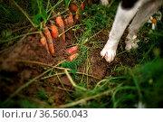 Reihe von Karotten auf dem Acker oder Feld zur Erntezeit. Стоковое фото, фотограф Zoonar.com/Nailia Schwarz / easy Fotostock / Фотобанк Лори