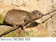Klippschliefer. Стоковое фото, фотограф Zoonar.com/Martina Berg / easy Fotostock / Фотобанк Лори