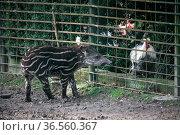 Tapirbaby trifft Huhn. Стоковое фото, фотограф Zoonar.com/Martina Berg / easy Fotostock / Фотобанк Лори