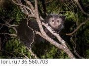 Adult Aye-aye (Daubentonia madagascariensis) active in forest canopy at night. Dry deciduous forest near Andranotsimaty. Daraina, northern Madagascar. Critically Endangered. Стоковое фото, фотограф Nick Garbutt / Nature Picture Library / Фотобанк Лори