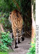 Sibirischer Tiger. Стоковое фото, фотограф Zoonar.com/Martina Berg / easy Fotostock / Фотобанк Лори
