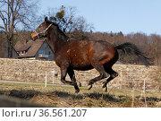 Galoppierender Trakehner. Стоковое фото, фотограф Zoonar.com/Martina Berg / easy Fotostock / Фотобанк Лори