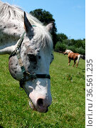 Geschecktes Pferd auf einer Weide. Стоковое фото, фотограф Zoonar.com/Martina Berg / easy Fotostock / Фотобанк Лори