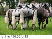 Wunderbare Kaltblüter aus Frankreich. Стоковое фото, фотограф Zoonar.com/Martina Berg / easy Fotostock / Фотобанк Лори