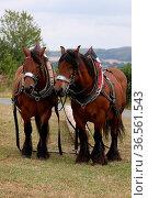 Zwei Ardenner-Pferde beim Holzrücken. Стоковое фото, фотограф Zoonar.com/Martina Berg / easy Fotostock / Фотобанк Лори