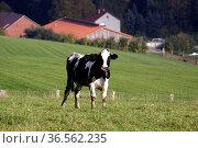 Schwarzbunte Kuh, im Hintergrund Bauernhof. Стоковое фото, фотограф Zoonar.com/Martina Berg / easy Fotostock / Фотобанк Лори