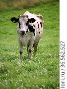 Kuh auf einer Weide. Стоковое фото, фотограф Zoonar.com/Martina Berg / easy Fotostock / Фотобанк Лори
