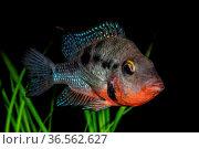 Portrait of freshwater cichlid fish (Thorichthys meeki) in aquarium. Стоковое фото, фотограф Zoonar.com/Jiri Plistil / easy Fotostock / Фотобанк Лори