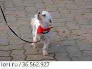 Weisser Mischlingshund mit rotem Halstuch. Стоковое фото, фотограф Zoonar.com/Martina Berg / easy Fotostock / Фотобанк Лори