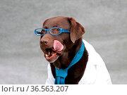 Labrador mit Brille und Krawatte. Стоковое фото, фотограф Zoonar.com/Martina Berg / easy Fotostock / Фотобанк Лори