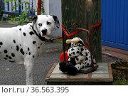 Dalmatiner mit Plüschkuh. Стоковое фото, фотограф Zoonar.com/Martina Berg / easy Fotostock / Фотобанк Лори