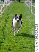 Rennender Hund beim Hundesport. Стоковое фото, фотограф Zoonar.com/Martina Berg / easy Fotostock / Фотобанк Лори