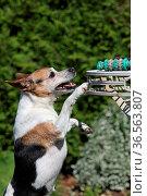 Jack Russell Terrier versucht Spielzeug von einem Tisch zu bekommen. Стоковое фото, фотограф Zoonar.com/Martina Berg / easy Fotostock / Фотобанк Лори