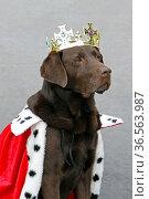 Brauner Labrador als König verkleidet. Стоковое фото, фотограф Zoonar.com/Martina Berg / easy Fotostock / Фотобанк Лори