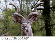 Großer Kudu (Bock) Стоковое фото, фотограф Zoonar.com/Martina Berg / easy Fotostock / Фотобанк Лори