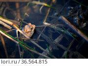 Einsamer Frosch in einem Teich. Стоковое фото, фотограф Zoonar.com/Martina Berg / easy Fotostock / Фотобанк Лори
