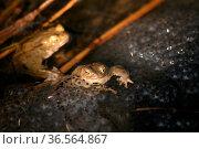 Die Frosch-Laich-Klumpen stammen von Grasfröschen - die beiden Frösche... Стоковое фото, фотограф Zoonar.com/Martina Berg / easy Fotostock / Фотобанк Лори