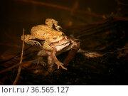 Erdkröten bei der Paarung. Стоковое фото, фотограф Zoonar.com/Martina Berg / easy Fotostock / Фотобанк Лори
