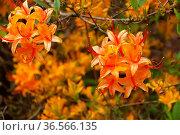 Azalee in orange, Frühling - azalea in orange colours in spring. Стоковое фото, фотограф Zoonar.com/LIANEM / easy Fotostock / Фотобанк Лори