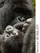 Mountain gorilla (Gorilla beringei beringei) female with baby age, 4 months, Volcanoes National Park, Rwanda. Редакционное фото, фотограф Mary McDonald / Nature Picture Library / Фотобанк Лори